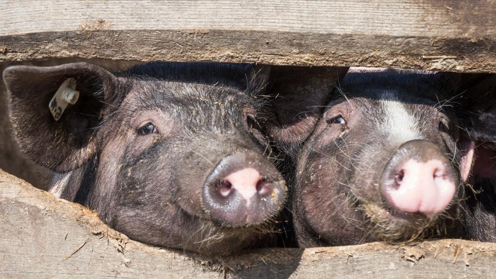 5月15日20公斤仔猪价格,仔猪市场爆冷,补栏热情偏弱,合理吗?