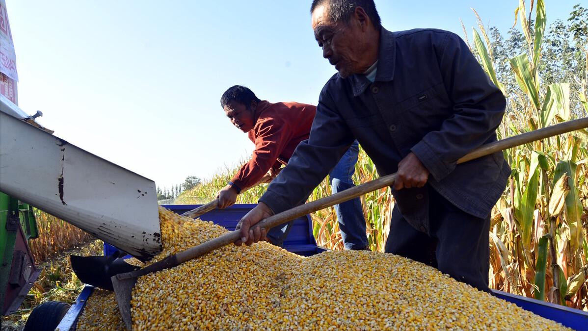 5月15日饲料原料:玉米进入上涨模式,豆粕价格直冲3600元/吨?
