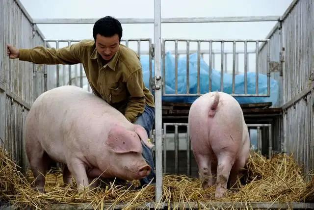 """关键时刻,猪市出现""""三涨一跌"""",对猪价有啥影响?"""