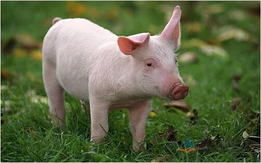 """5月16日10公斤仔猪价格,猪价溃不成军,连带仔猪市场""""一蹶不振""""?"""