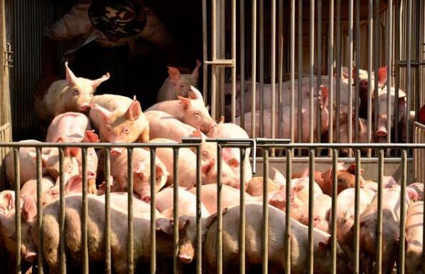 猪场全新管理模式:管好两条通道,促进三废排出
