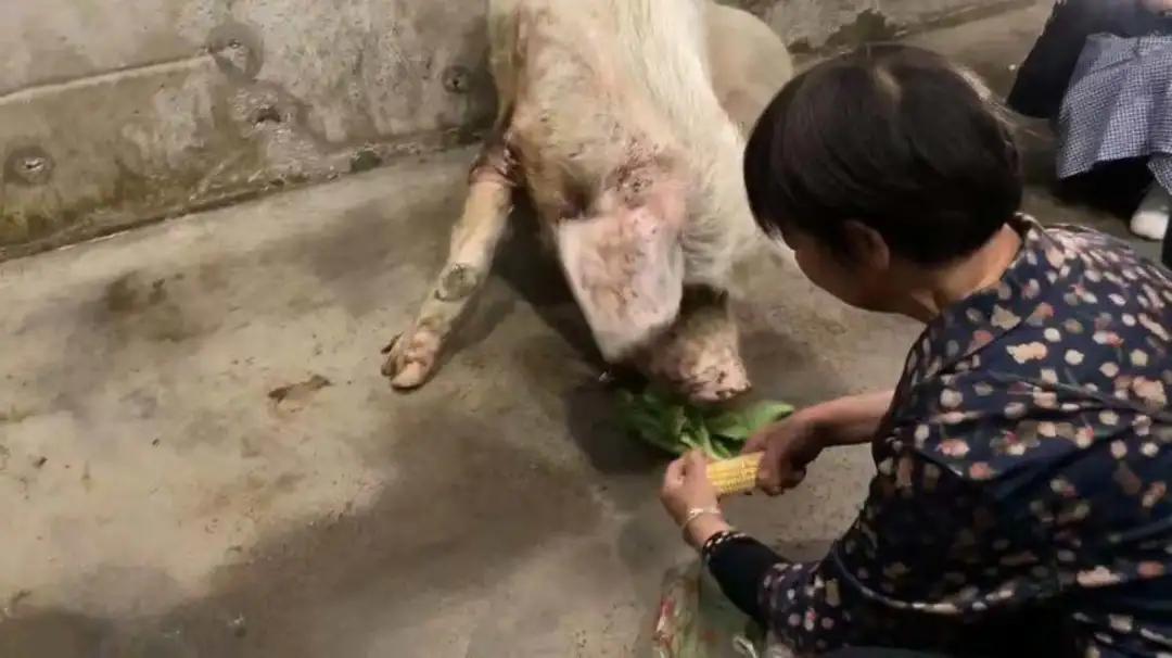 """弥留之际的""""猪坚强"""":生命的奇迹,坚强的符号"""