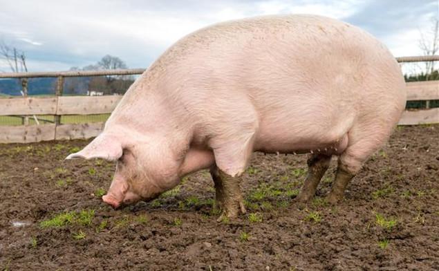 2021年05月17日全国各省市种猪价格报价表,2980头丹麦种猪进境,即将投入生产!