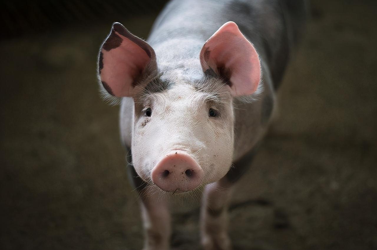 泰国猪繁殖呼吸综合症爆发!城市农场养殖的猪感染死亡
