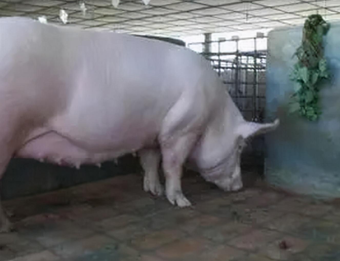 母猪预产期过几天正常?母猪怀孕123天没生怎么办?果断要这样做