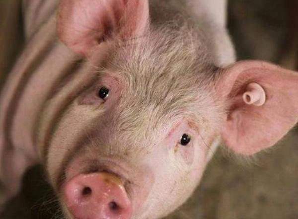 母猪临产征兆有哪些?接产需要准备哪些物品