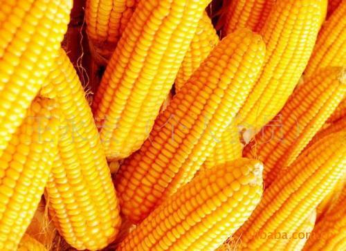 中国玉米进口超配额!创纪录!啥情况?