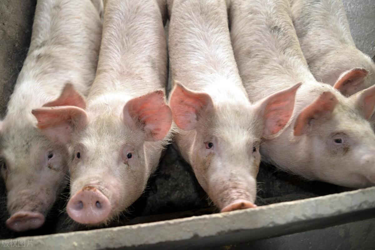 """炒猪,炒肉,再炒猪,猪价的下跌""""他们""""应该负主要责任"""