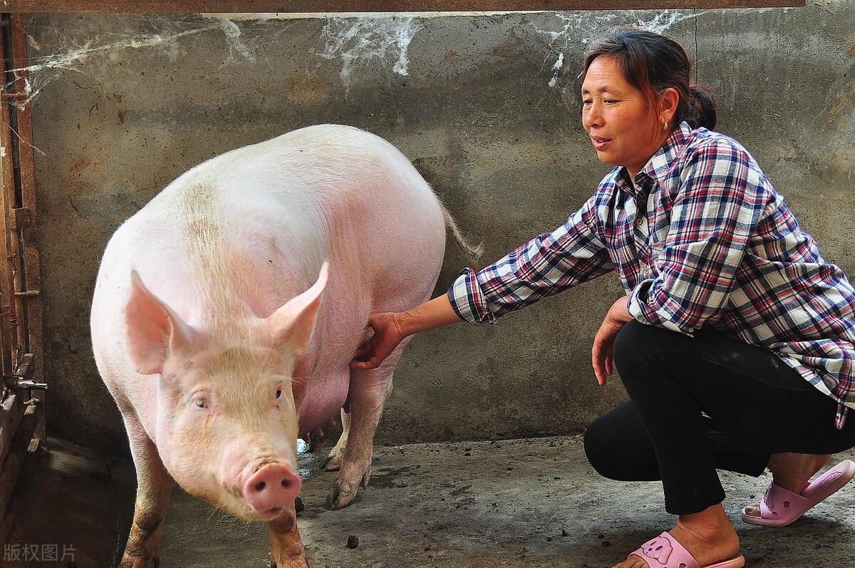 母猪大栏自由分娩应用越来越多,如何克服仔猪死亡率问题
