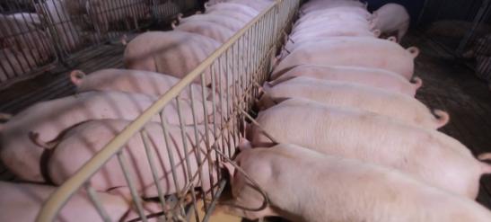"""生猪成为""""金疙瘩"""",华为等科技企业入行养猪,2021年养猪或成高端行业?"""