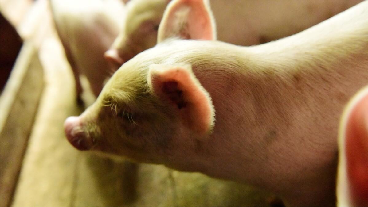 """6月1日15公斤仔猪价格,仔猪市场""""死气沉沉"""",母猪淘汰力度加大?"""