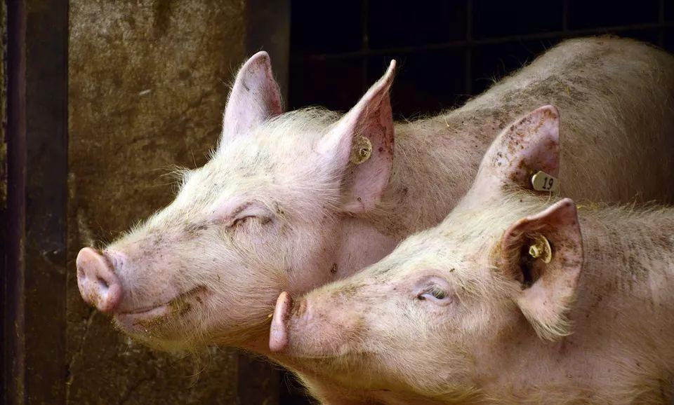 2021年06月01日全国各省市土杂猪生猪价格,土杂猪多地已到7元/斤了,牛猪利空,下跌还会继续?