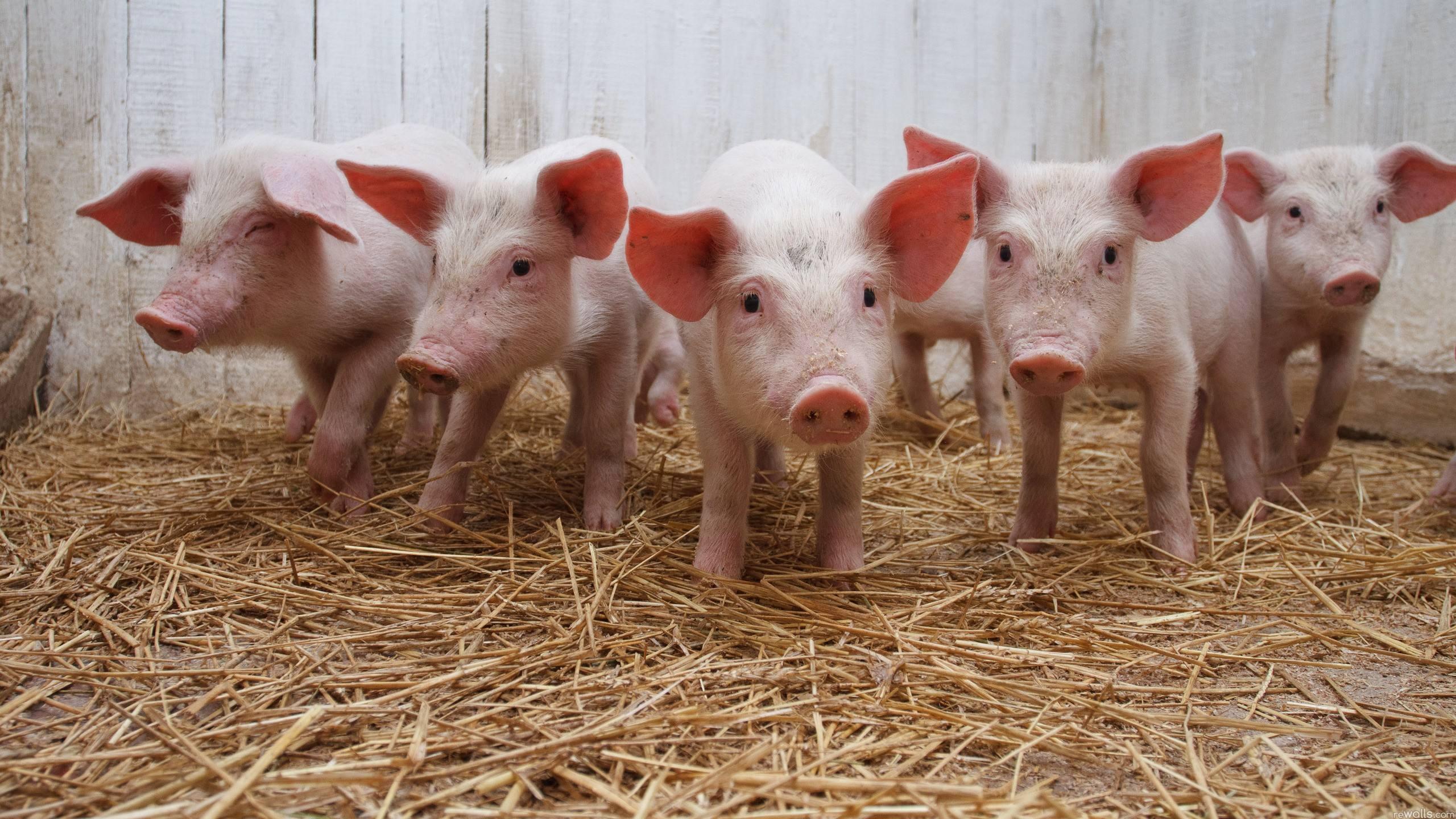 """6月2日20公斤仔猪价格,猪价轨迹偏离,仔猪""""一蹶不振""""跌入新低?"""