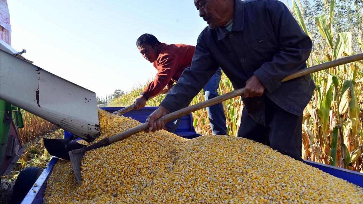 6月2日饲料原料,玉米大涨,国家强势入局,6月玉米行情还有戏?