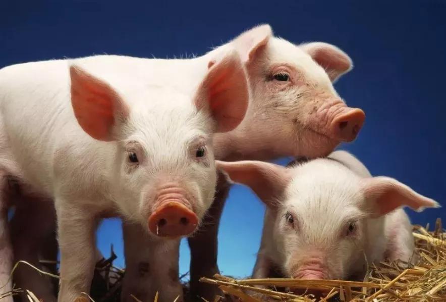 深度剖析!养猪业为何亏损不停?大企业要反思,养殖户要当心!