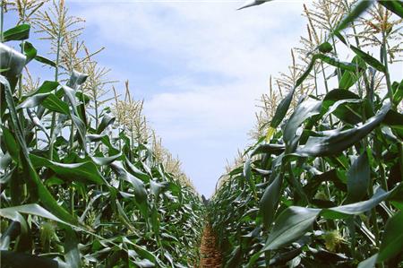 中储粮进口玉米拍卖引起热议!进口玉米价低冲击国内市场!