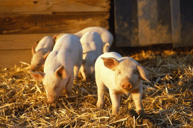6月4日15公斤仔猪价格,仔猪跌幅远超猪价,专业育肥户要歇了?