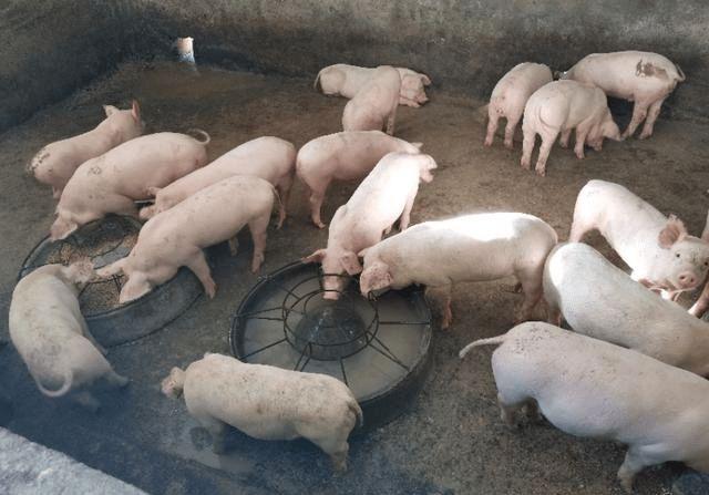 猪价低位飘过,养殖利润一年会比一年减少,未来三年养猪前景如何?