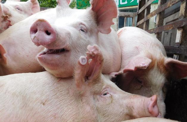 """2021年06月05日全国各省市内三元生猪价格,猪价再""""跳水"""",多地猪价破8元,下跌潮又来?"""