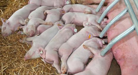 母猪产前不吃怎么办?母猪产前不吃打什么针?这样做比较妥
