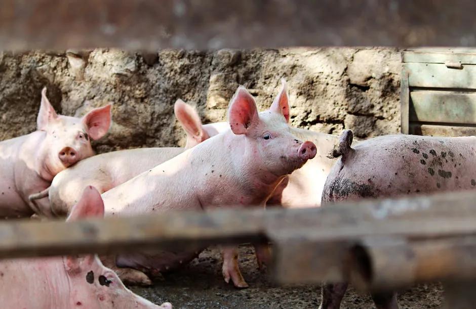 养猪业已全面进入亏损阶段!业内预计:短期生猪价格继续下跌空间不大