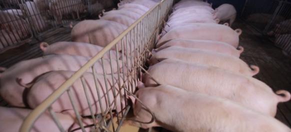 大型猪企成为行业风向标?农业农村部副部长马有祥:大型猪企要发挥带头作用,加大对中小户的扶持