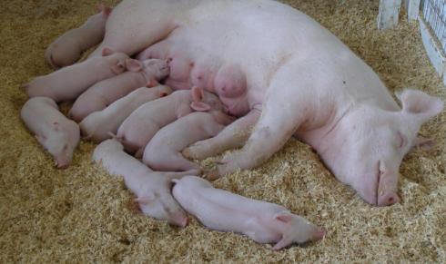"""母猪产仔几胎可淘汰?巧用""""六必三可""""规则,少花冤枉钱"""