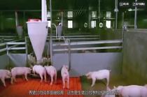 国产猪打不过进口猪,饲料80%靠进口,中国猪肉遭遇卡脖子?