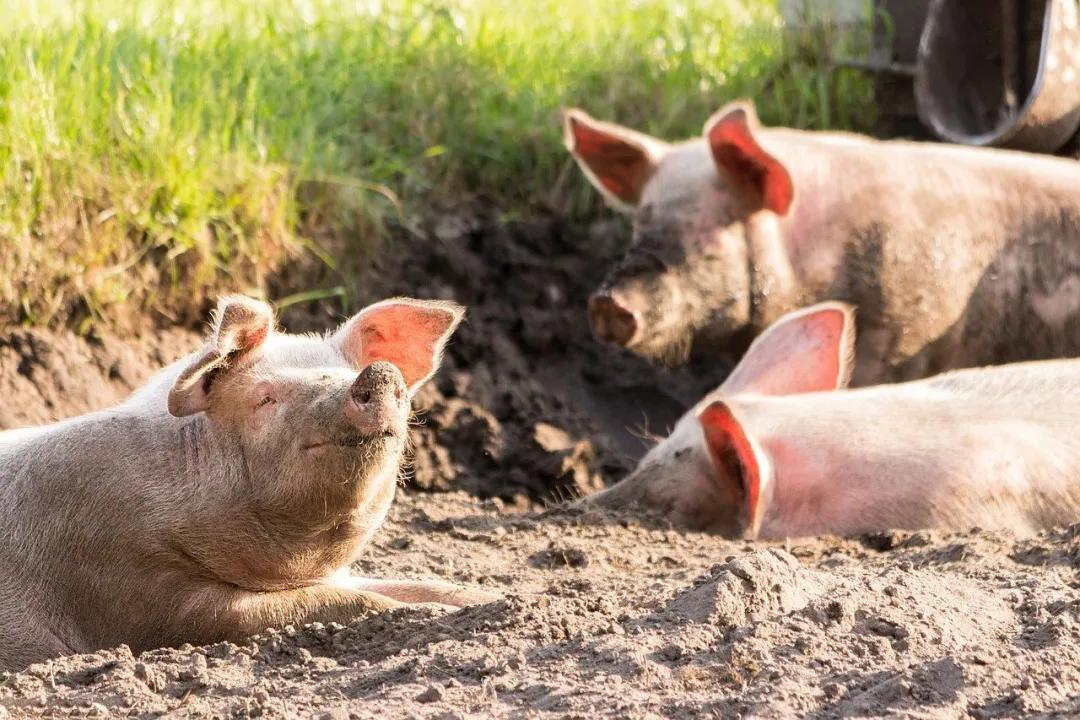 """""""6元""""猪价再现!养猪又回到原点?三大变化已彻底改变养猪业...."""