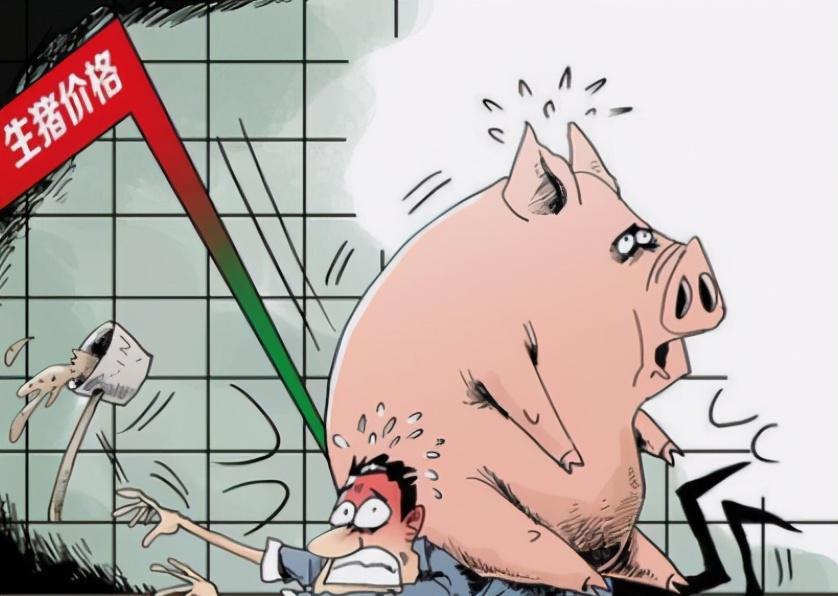 6月8日10公斤仔猪价格,仔猪价格连跌10周,散户压力持续倍增?
