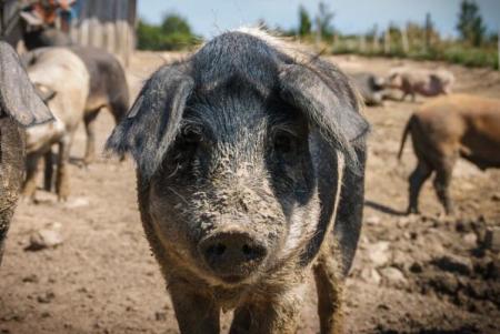 悲哀!我国31个猪品种处于濒危和濒临灭绝状态