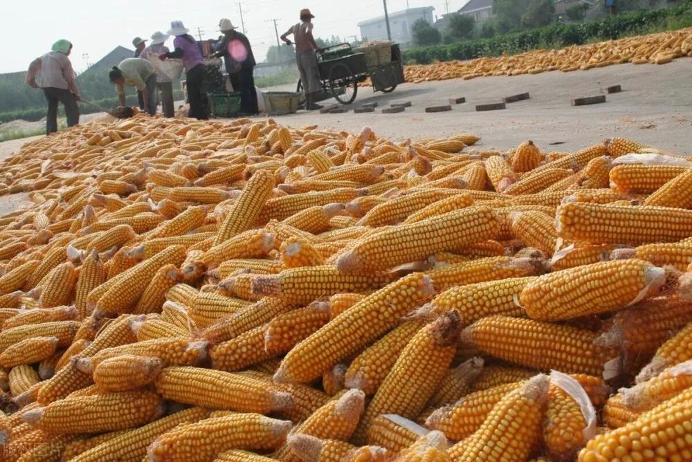 """三大主粮怎么了?玉米""""大事""""不断、新麦仅1.2元/斤、稻谷收购价低于米糠!"""