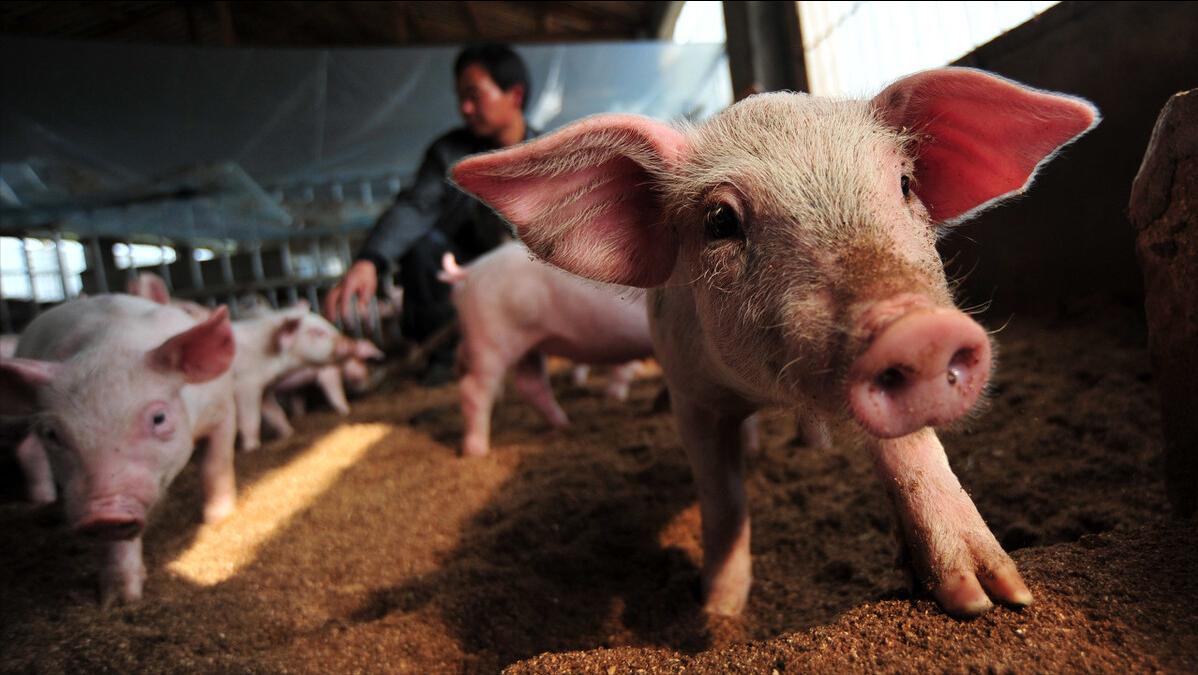 6月9日15公斤仔猪价格,仔猪陷入走跌风波,现在抄底补栏合适吗?