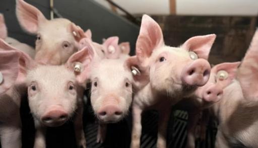猪价连月亏损,养殖户心态不稳,未来养猪还是要论持久战?