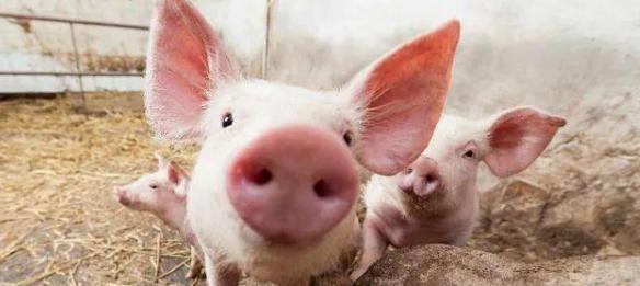仔猪又跌了!6月第1周仔猪价格创近20个月新低,价格仅为63.2元/公斤