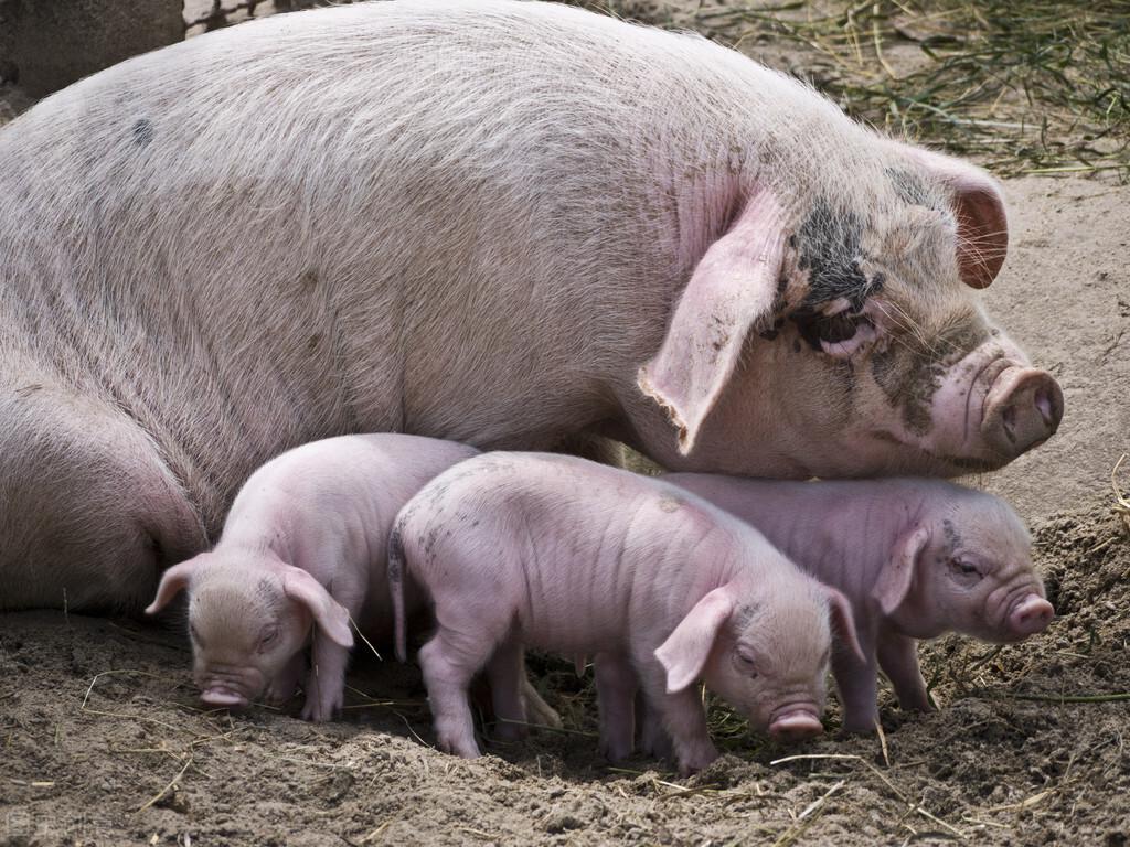 猪场母猪死胎甚多,严重影响猪场效益,养殖户该如何做?