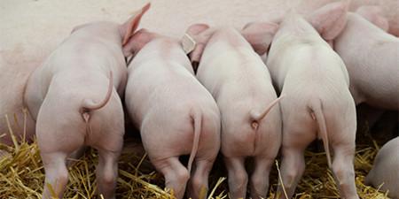 如何高效管理种公猪?种公猪的营养需求和繁殖障碍管理