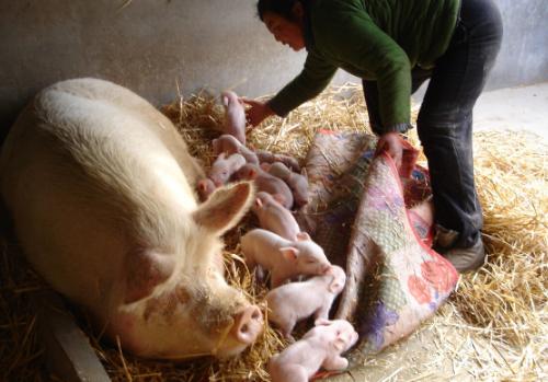 母猪产后胎衣不下,养猪人要如何解决?防治办法都齐了