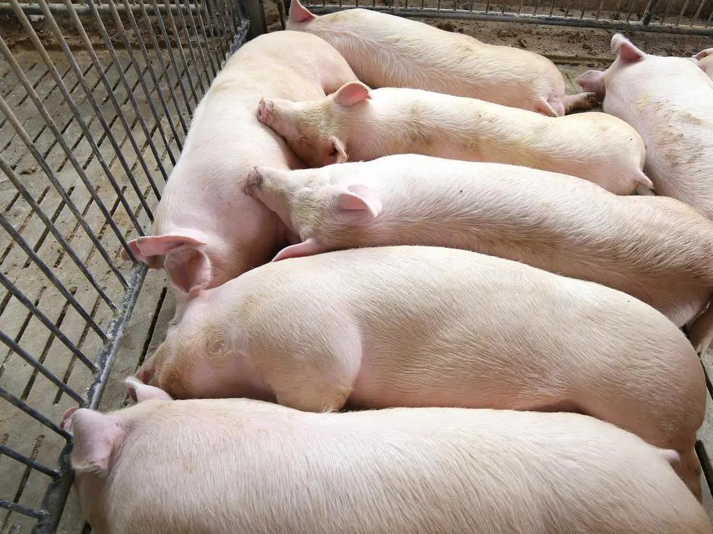 猪价一跌不起,3个消息,养殖户扭亏为盈?