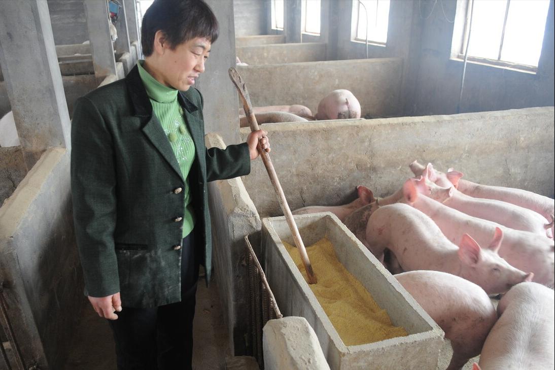 6月11日10公斤仔猪价格,养猪亏损板上钉钉,仔猪仍有下跌风险?