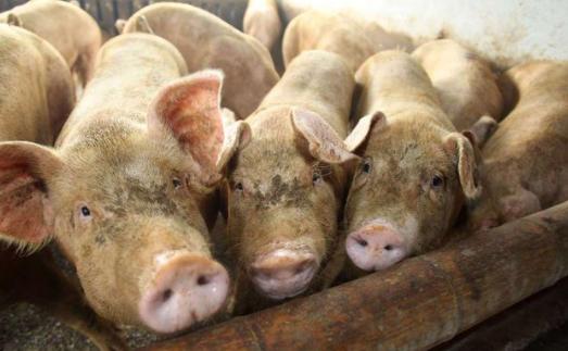 157天!猪价大跌59.4%,6月行情2大变化可期,猪价要翻天大涨?