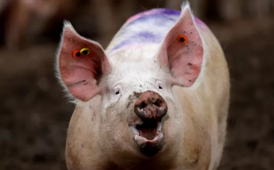 母猪质量直接关系到猪场生产效益!高效饲养母猪时应特别注意的十点