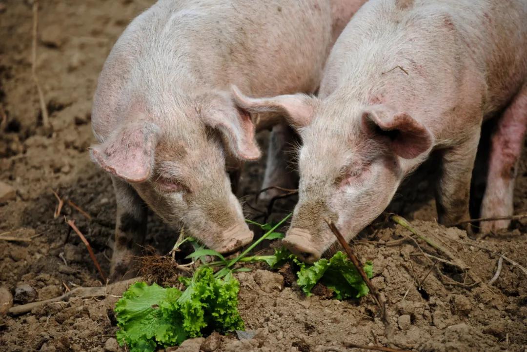 """出栏创新高!正邦科技:解""""猪周期""""核心在于降成本!"""
