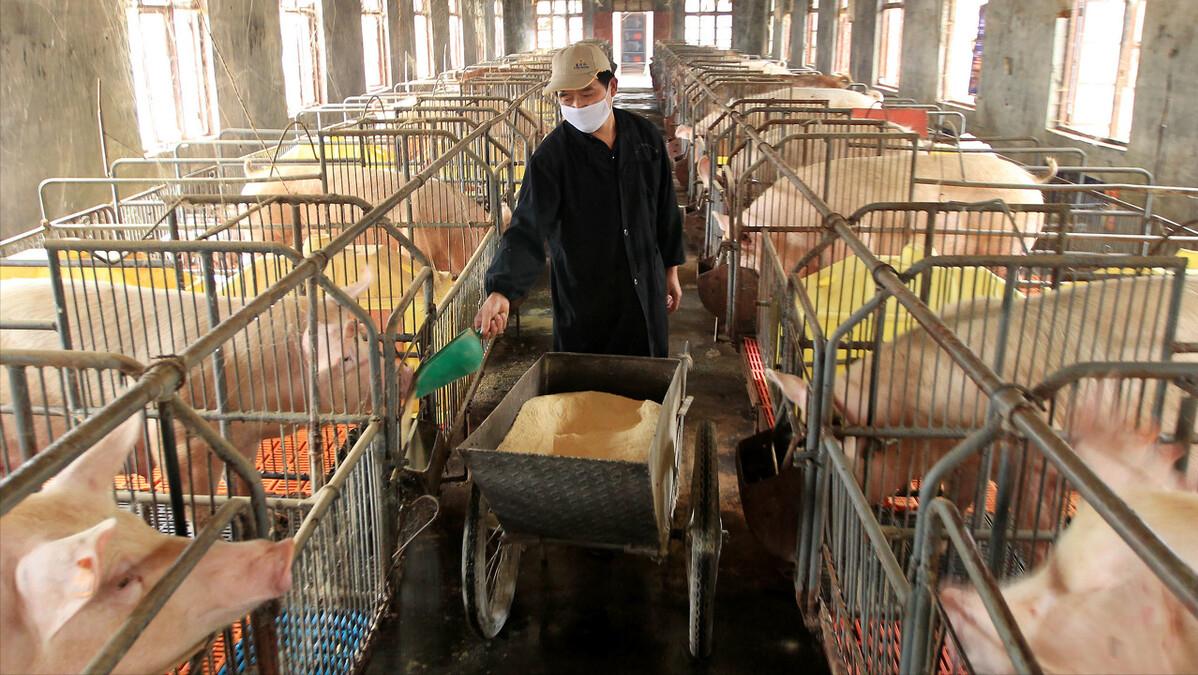 养猪进入全面亏损时代,猪企普遍关注降本增效,散户该何去何从?