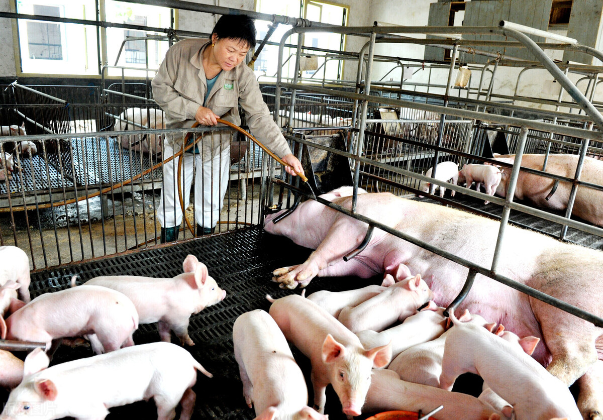 """猪价将""""破6"""",但并未到底,生猪产业已生变,两类猪场恐被淘汰"""