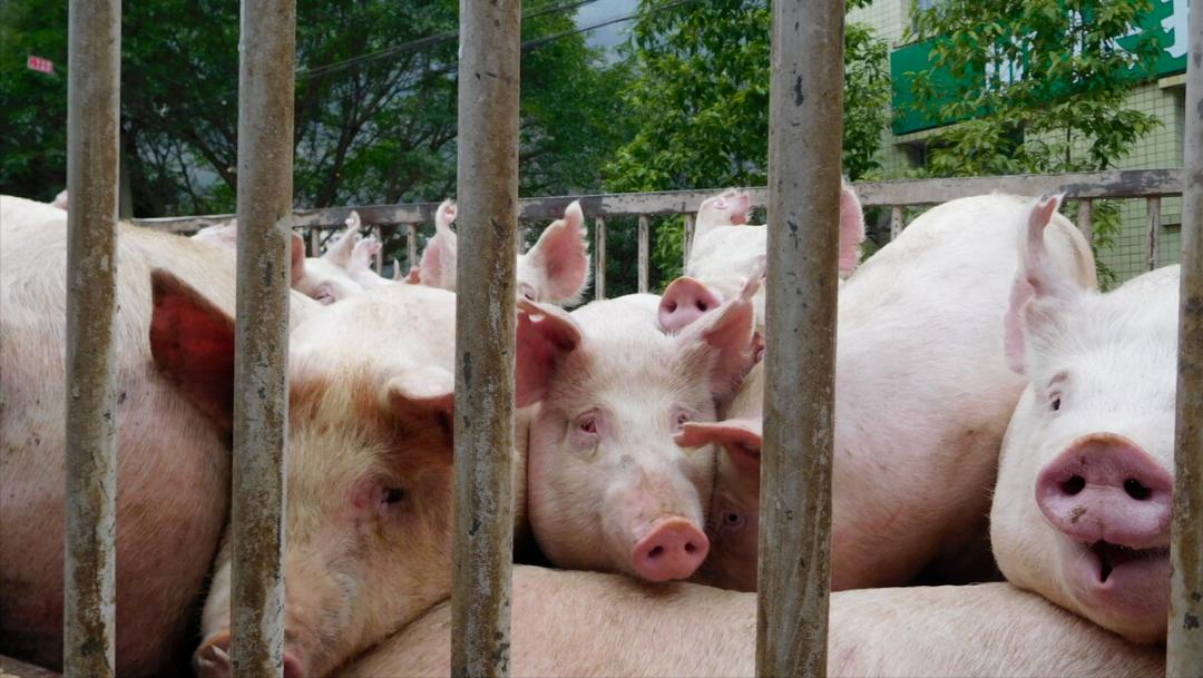 """猪价最低6.6元/斤!端午猪价上涨困难,牛猪仍是最大""""拦路虎""""?"""