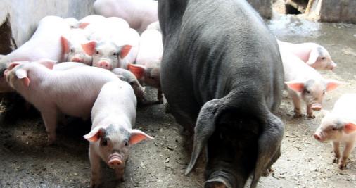 母猪产子数少是啥原因?母猪繁殖能力怎么提升?看完你就明白了