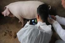母猪难产怎么解决?母猪难产的处理方法,对养猪人很有帮助
