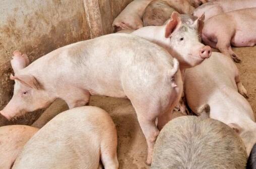 2021年06月19日全国各省市外三元生猪价格,东北猪价跌破13元/公斤,未来几天猪价还得跌?
