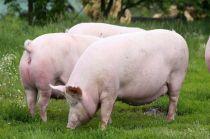 6月20日:肥猪仍未消耗殆尽,母猪抛售潮又起,6月猪价难言见底?